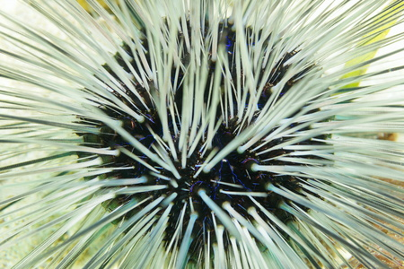 creature: Underwater life, close up view of a long spined urchin, Diadema antillarum, with white spines and blue lines, Caribbean sea