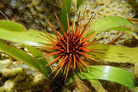 urchin: Reef urchin, Echinometra viridis, underwater on seagrass, Caribbean sea Stock Photo