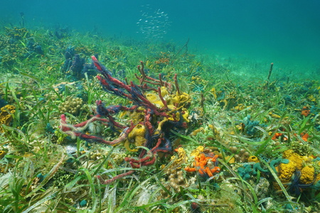 bottom of sea: Ocean floor with colorful sea sponges, Caribbean