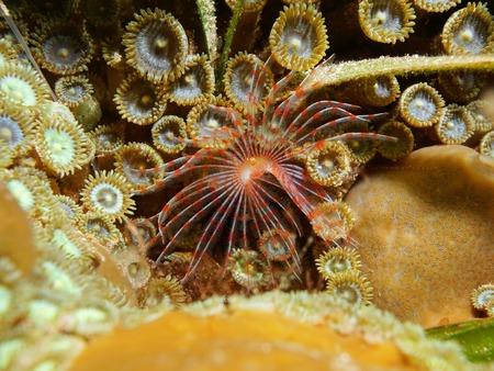underwater life: Underwater life, marine worm Turbocavus secretus, on the seabed with zoanthids, Caribbean sea