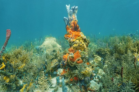 brittle: Caribbean coral reef underwater with colorful marine life composed by sea sponges and brittle stars