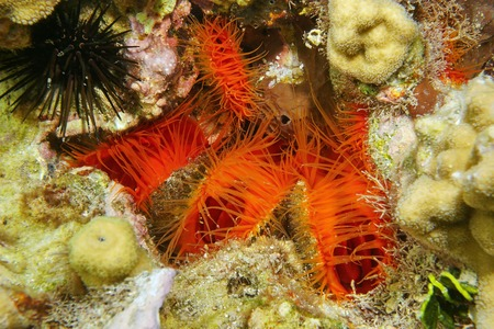 molluscs: Several bivalve molluscs Flame scallop, Ctenoides scaber, underwater on the seabed in the Caribbean sea Stock Photo