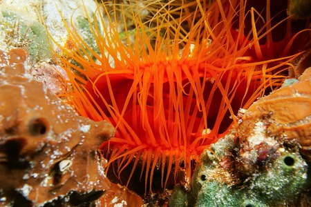 mollusk: Underwater creature, close-up of Ctenoides scaber, Flame scallop bivalve mollusk and its tentacles, Caribbean sea Stock Photo