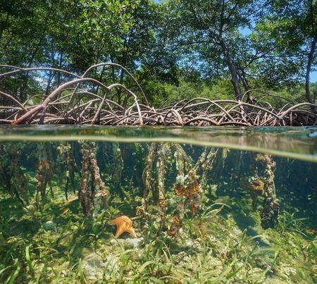 De mangrove met boomwortels boven en onderwater split door waterlijn, Caribische zee
