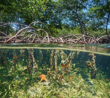The mangrove with tree roots above and underwater split by waterline, Caribbean sea Stock Photo
