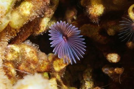 Underwater marine life, a variegated feather duster worm, Bispira variegata, Caribbean sea