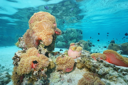 underwater ocean: Magnificent sea anemones with tropical fish, underwater in the lagoon of Huahine, Pacific ocean, French Polynesia Stock Photo