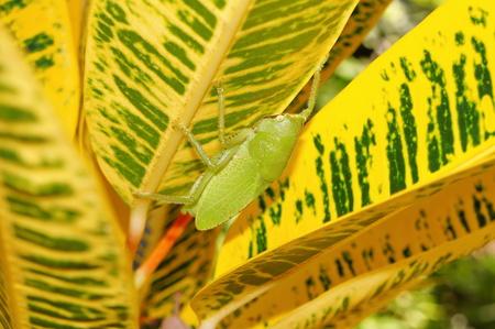 bearer: Brown-faced spear bearer katydid, Copiphora hastata, under croton leaf, Costa Rica