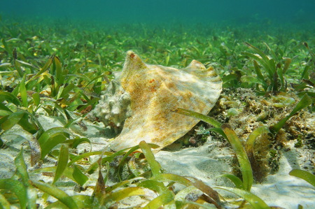 conch: Shell of queen conch, Lobatus gigas, underwater on seabed with seagrass, Caribbean sea Stock Photo