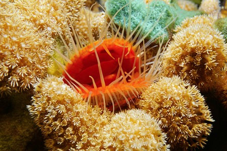 bivalve: Marine life, close-up of a bivalve mollusk Flame scallop, Ctenoides scaber, surrounded by finger coral, Caribbean sea