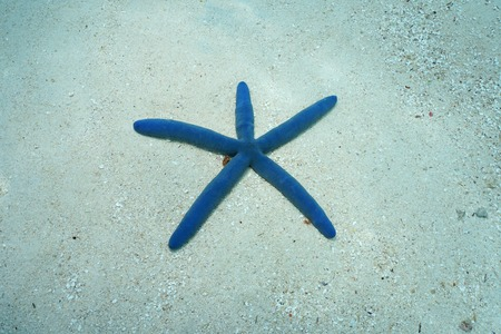 blue sea: Blue sea star, Linckia laevigata, underwater on the sand, Pacific ocean, French Polynesia Stock Photo