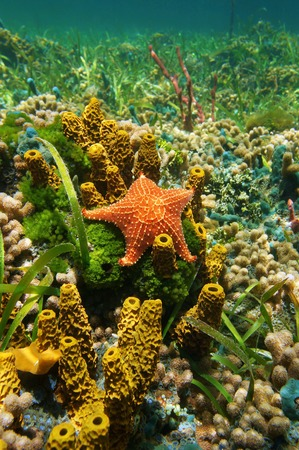 oreaster reticulatus: Cushion sea star underwater on the seabed with sponges, algae and corals, Caribbean sea