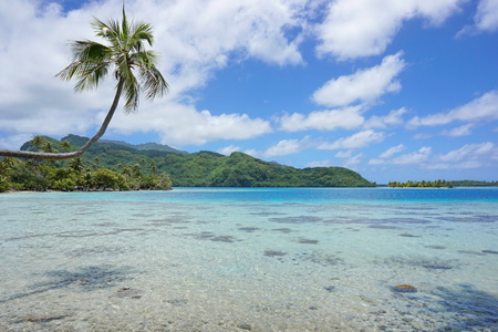 motu: A coconut tree leaning over shallow water of the lagoon with the coast and an islet in background, Huahine island, Pacific ocean, French Polynesia