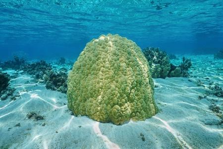 lobe: Massive lobe coral underwater, Porites lobata, on shallow ocean floor in the lagoon of Huahine island, Pacific ocean, French Polynesia Stock Photo