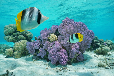butterflyfish: Purple coral underwater with two tropical fish double-saddle butterflyfish, Pacific ocean, Huahine island, French Polynesia Stock Photo