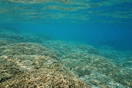 stony corals: Underwater landscape, shallow ocean floor covered by large colonies of finger coral, lagoon of Huahine, Pacific ocean, French Polynesia