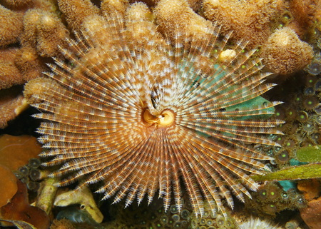 and the magnificent: Underwater marine life, a Magnificent feather duster worm, Sabellastarte magnifica, Caribbean sea