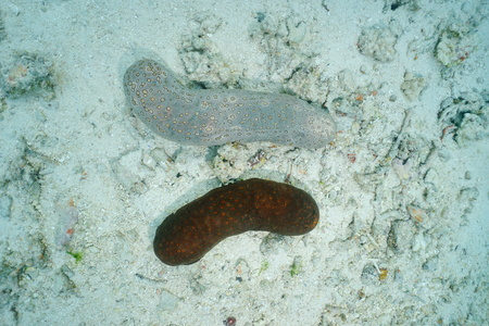 echinoderm: Underwater marine life, two leopard sea cucumber, Bohadschia argus, with different colors, Pacific ocean, French polynesia Stock Photo