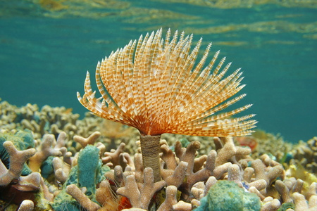 duster: Marine worm Magnificent feather duster, Sabellastarte magnifica, underwater on shallow coral reef, Caribbean sea Stock Photo