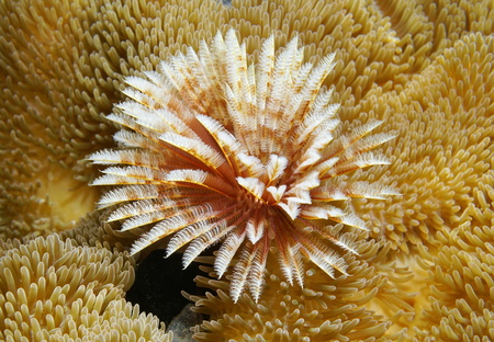 duster: A Magnificent feather duster marine worm, Sabellastarte magnifica, surrounded by sea anemones, Caribbean sea