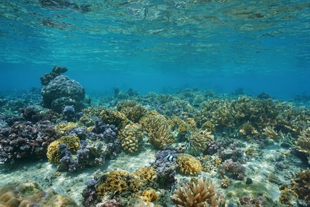 stony coral: Corals underwater in shallow water of the lagoon of Huahine, Pacific ocean, French Polynesia