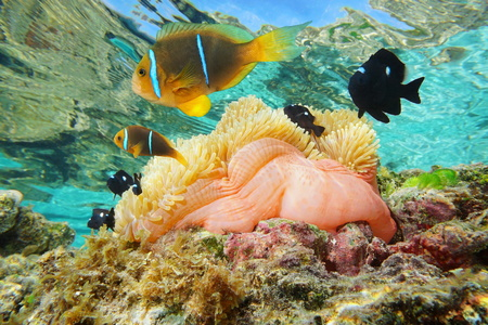 Magnificent sea anemone with tropical fish orange-finned anemonefish and three-spot dascyllus, underwater in the lagoon of Huahine, Pacific ocean, French Polynesia Stock Photo