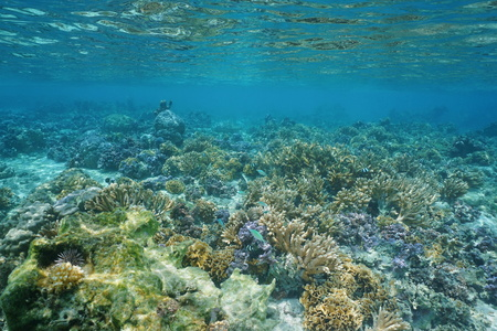 stony coral: Shallow coral reef underwater in the lagoon, Huahine island, Pacific ocean, French Polynesia