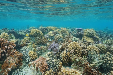 stony corals: Underwater coral reef on a shallow ocean floor, lagoon of Huahine island, Pacific ocean, French Polynesia