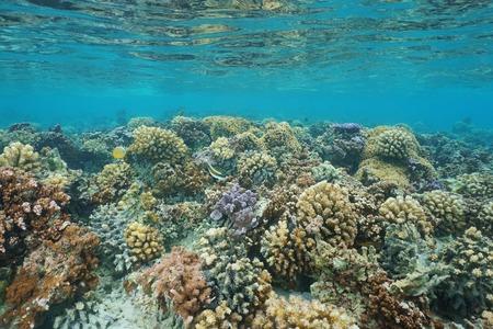 ocean floor: Underwater coral reef on a shallow ocean floor, lagoon of Huahine island, Pacific ocean, French Polynesia
