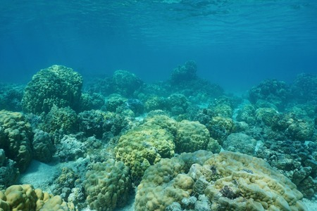 ocean floor: Underwater coral reef on shallow ocean floor with massive lobe corals, lagoon of Huahine island, Pacific ocean, French Polynesia