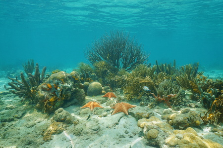 oreaster reticulatus: Corals and Cushion starfishes underwater on a shallow reef in the Caribbean sea