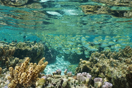 shallow water: A school of fish, convict tang, in shallow water in the lagoon of Huahine, Pacific ocean, French Polynesia