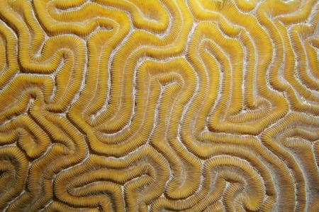 labyrinthine: Underwater marine life, close up of grooved brain coral, Diploria labyrinthiformis, Atlantic ocean