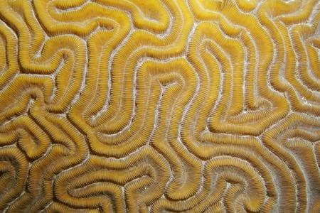 brain coral: Underwater marine life, close up of grooved brain coral, Diploria labyrinthiformis, Atlantic ocean
