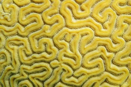 labyrinthine: Maze of grooved brain coral, Diploria labyrinthiformis, close-up, Caribbean sea