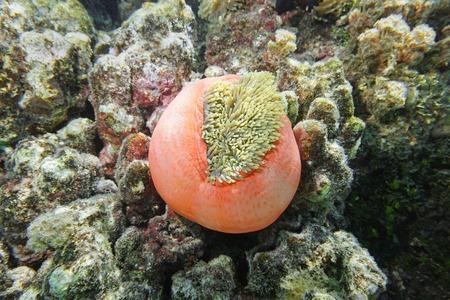polynesia: A Magnificent sea anemone, Heteractis magnifica, partially closed, Pacific ocean, French Polynesia Stock Photo
