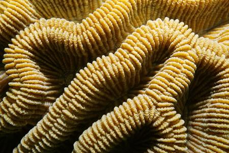 brain coral: Sea life, ridges of boulder brain coral, Colpophyllia natans, close-up, Caribbean sea Stock Photo