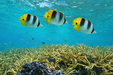 staghorn: Tropical fish double-saddle butterflyfish over staghorn coral, underwater in the lagoon, Pacific ocean, Huahine, French Polynesia Stock Photo