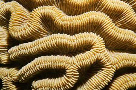 brain coral: Marine life, close up of boulder brain coral ridges, Colpophyllia natans, Caribbean sea Stock Photo