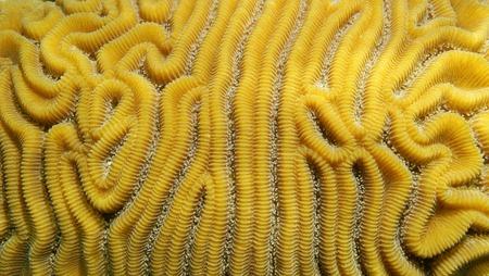 grooved: Grooved brain coral, Diploria labyrinthiformis, close-up, Atlantic ocean