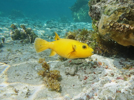 arothron: Tropical fish guineafowl puffer, Arothron meleagris, yellow form, underwater in the lagoon of Huahine island, Pacific ocean, French Polynesia
