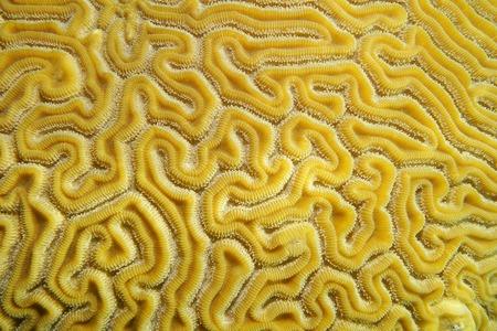 brain coral: Underwater marine life, close up of grooved brain coral labyrinth, Diploria labyrinthiformis, Caribbean sea