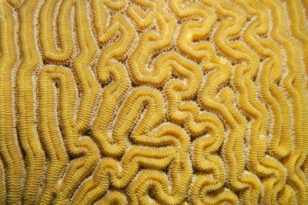 brain coral: Marine life, Close-up of grooved brain coral labyrinth, Diploria labyrinthiformis, Caribbean sea Stock Photo