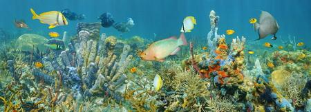 Coral reef panorama sous-marin avec la vie marine colorée composée par les poissons tropicaux et les éponges de mer, la mer des Caraïbes