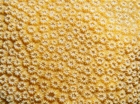 stony coral: Underwater marine life, close up of lobed star coral, Orbicella annularis, Caribbean sea