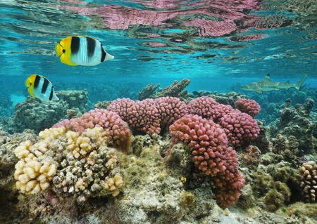 shallow water: Pink cauliflower coral in shallow water with butterflyfish and a shark in background, Pacific ocean, Huahine island, French Polynesia