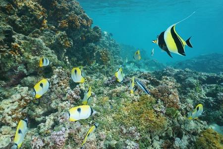 Underwater on a coral reef with tropical fish teardrop butterflyfish and a moorish idol, Pacific ocean, Raiatea island, French Polynesia