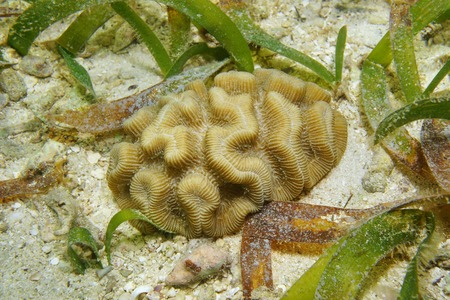stony coral: Marine life, rose coral, Manicina areolata, on a shallow seabed with sand and seagrass, Caribbean sea