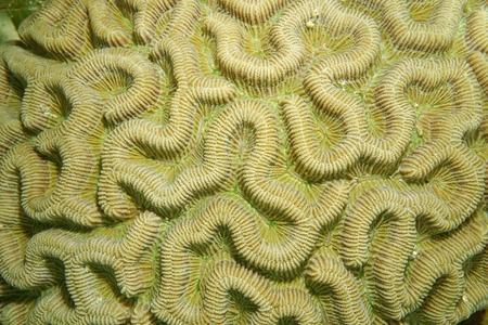 labyrinthine: Marine life, close up of boulder brain coral, Colpophyllia natans, Caribbean sea