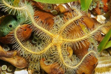 수 중 해양 생물, Suenson 부서지기 쉬운 스타, Ophiothrix suensoni, 해저, 카리브 바다에 가까이 스톡 콘텐츠